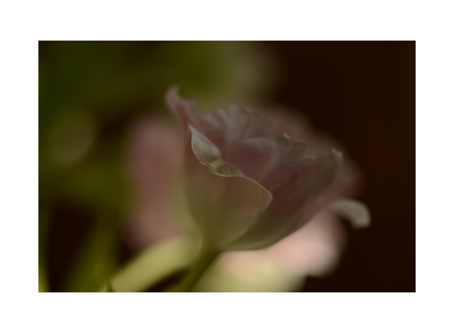 Tulpenrosa....