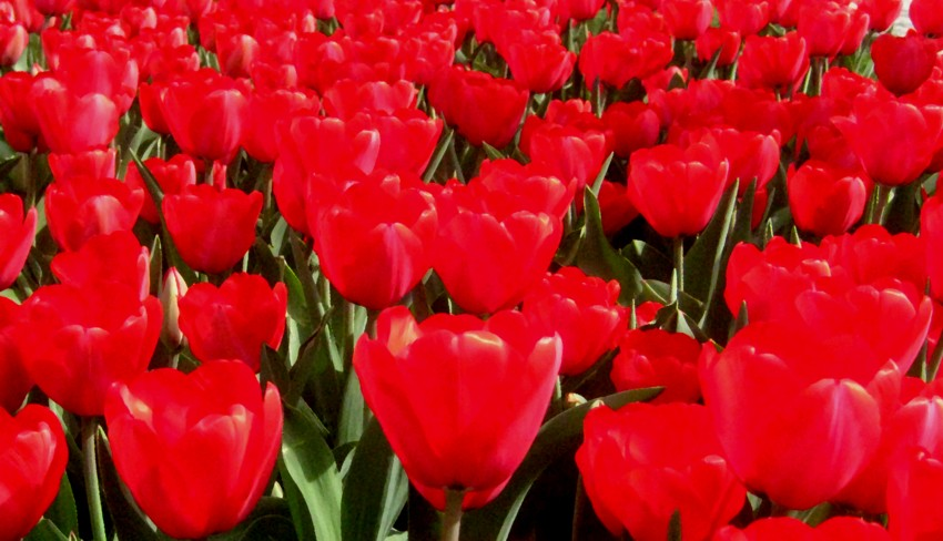 Tulpenrot