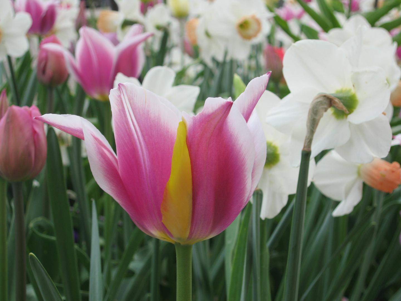 Tulpenschönheit