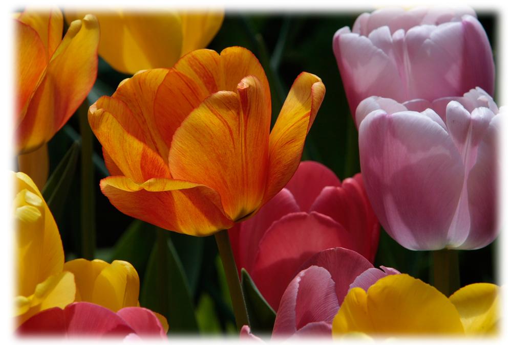 Tulpenspiel mit den Farben......