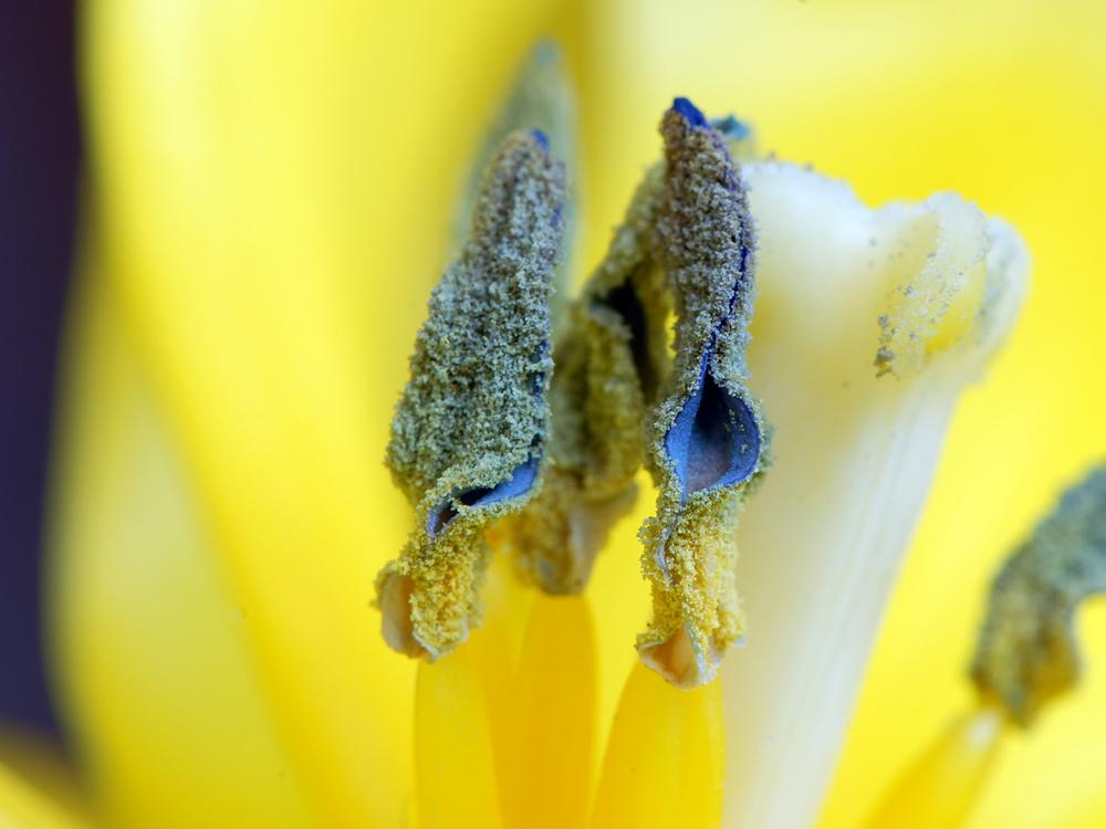 Tulpenstempel 2