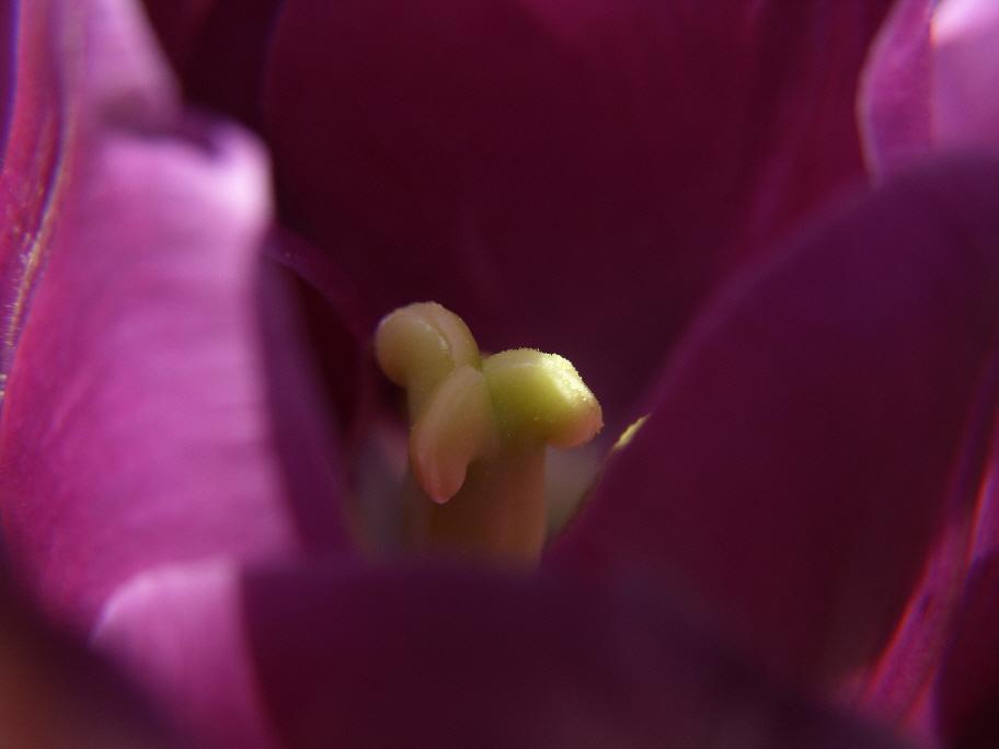 Tulpenstempel