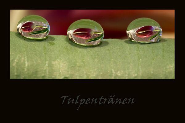 Tulpentränen