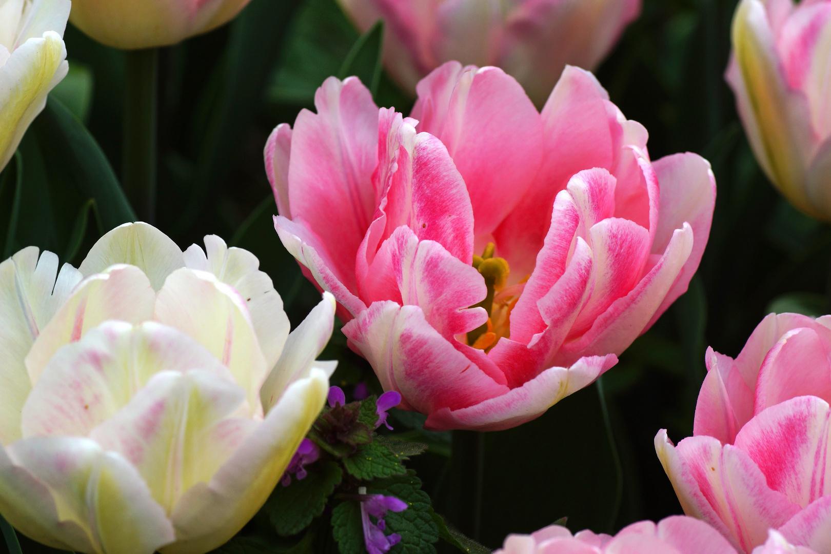Tulpenvielfalt im Dycker Schlossgarten 12