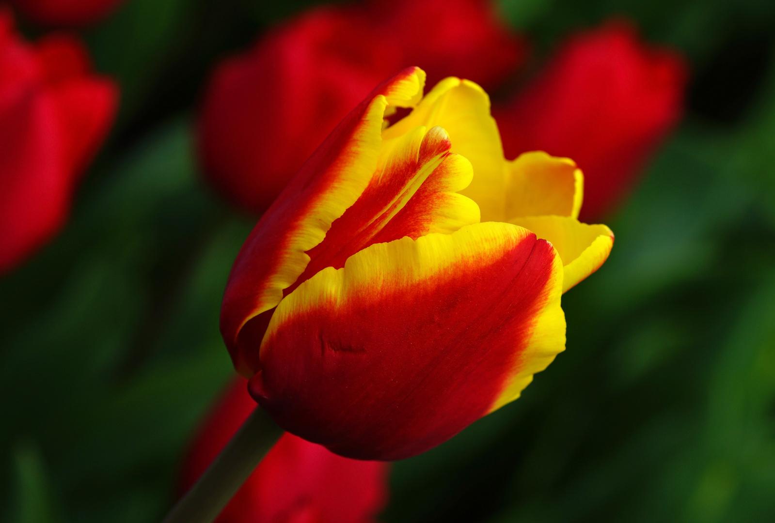 Tulpenvielfalt im Dycker Schlossgarten 13