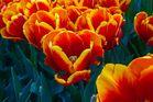 Tulpenvielfalt im Dycker Schlossgarten 18