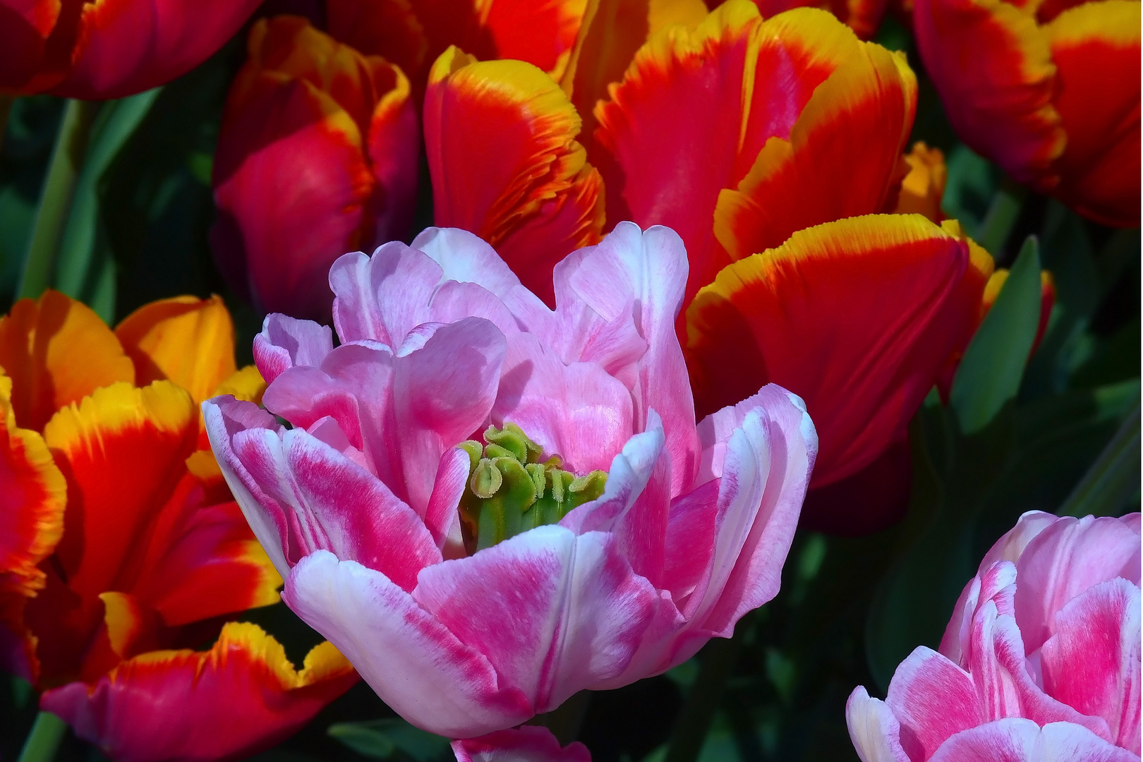 Tulpenvielfalt im Dycker Schlossgarten 19