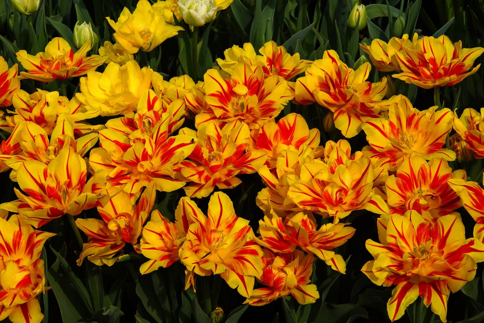Tulpenvielfalt im Dycker Schlossgarten 20