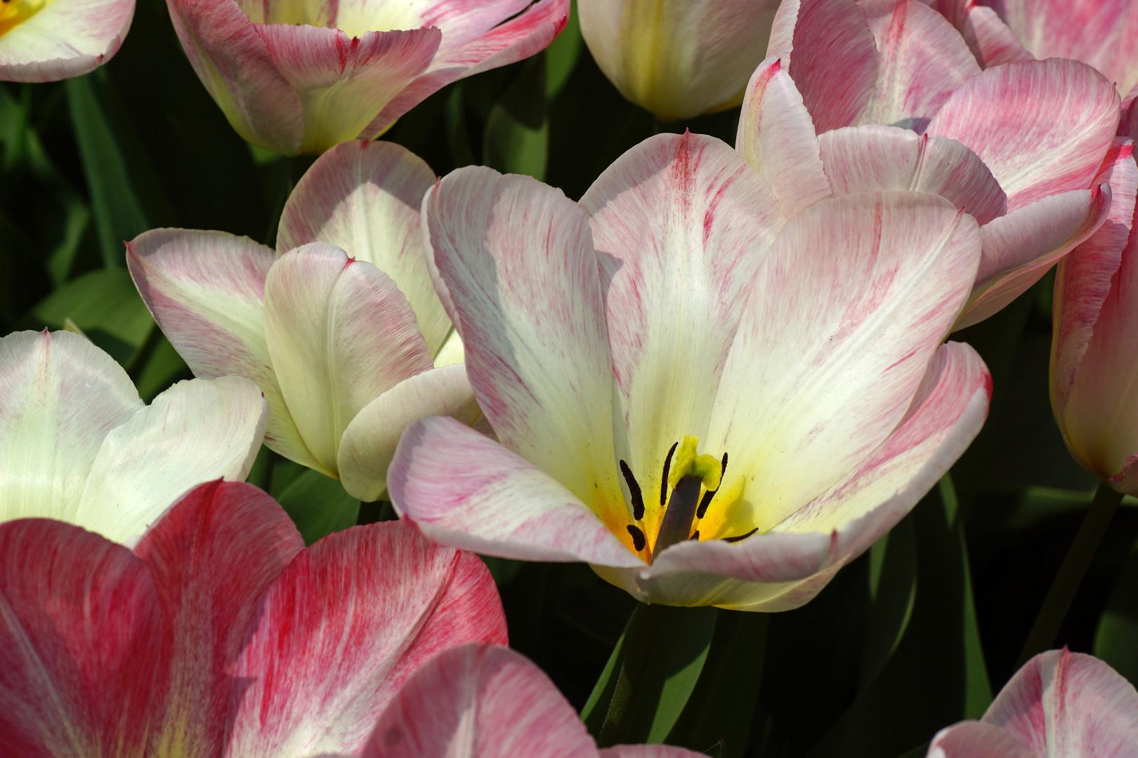 Tulpenvielfalt im Dycker Schlossgarten 21