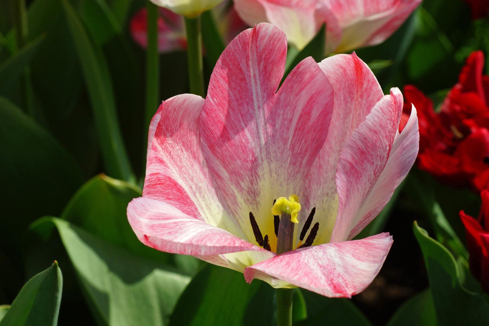 Tulpenvielfalt im Dycker Schlossgarten 23