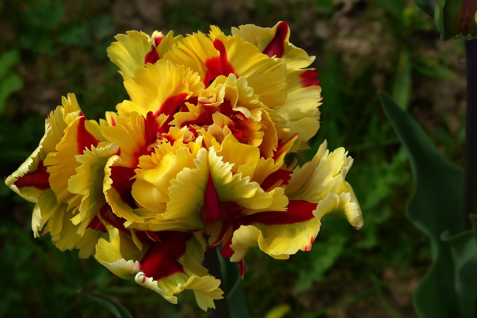Tulpenvielfalt im Dycker Schlossgarten 3