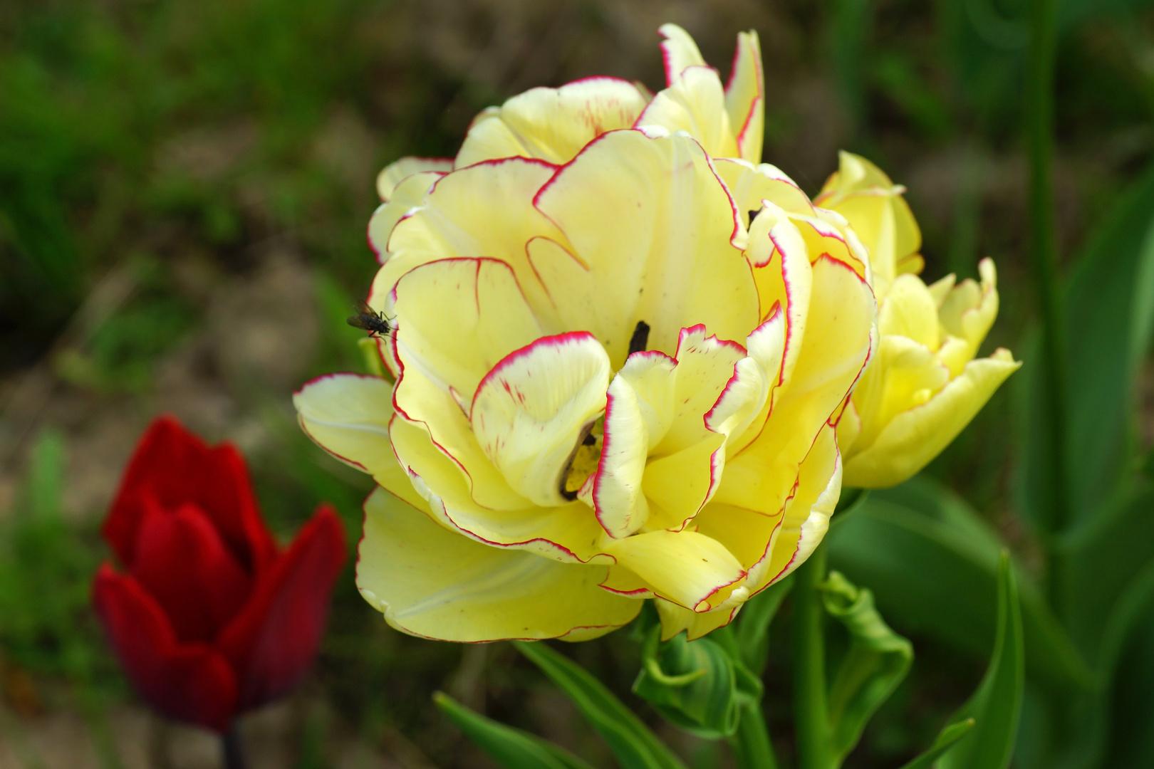 Tulpenvielfalt im Dycker Schlossgarten 6