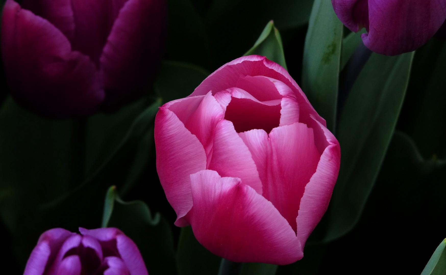 Tulpenvielfalt im Dycker Schlossgarten 7