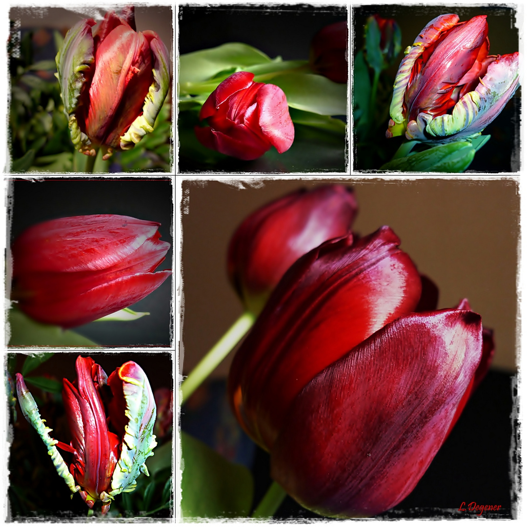 Tulpenvielfalt in rot