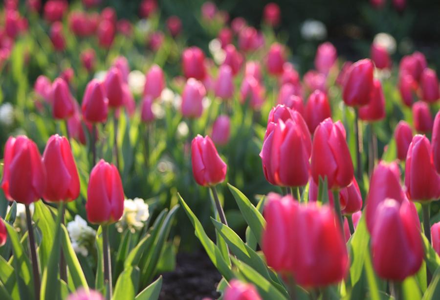 Tulpenwelt