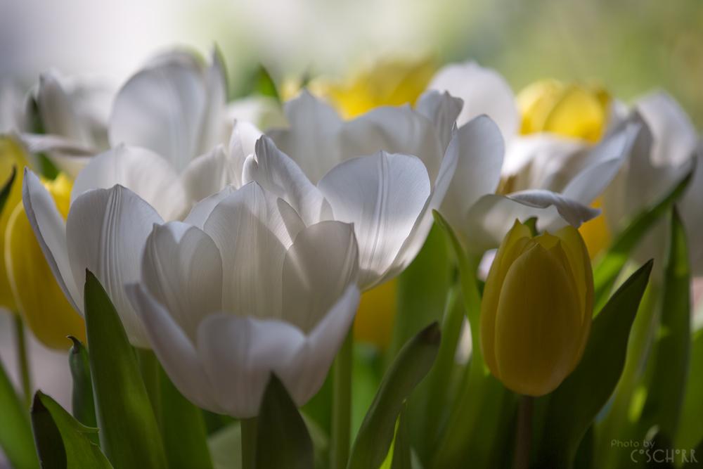 Tulpenzeit in der Vase 2