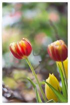 Tulpenzeit in der Vase 3