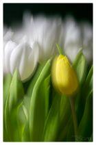 Tulpenzeit in der Vase 4