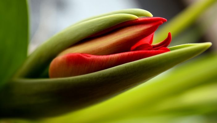 Tulpe,Passionale