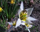 Tulpe_weiß