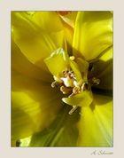 Tulpinchen