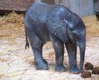 TULUBA - Elefantenbaby im Tiergarten SCHÖNBRUNN / Wien