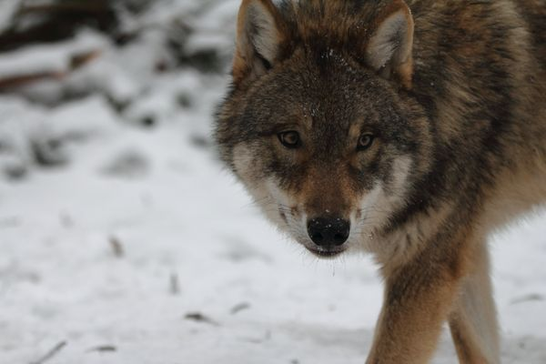Tundra-Wolf