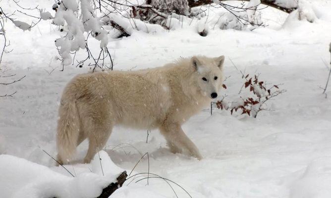 Tundrawolf im Wildpark Klein-Auheim II