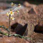 Turkestanische Tulpe (Tulipa turkestanica)