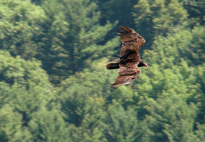 Turkey Vulture at Devils Doorway