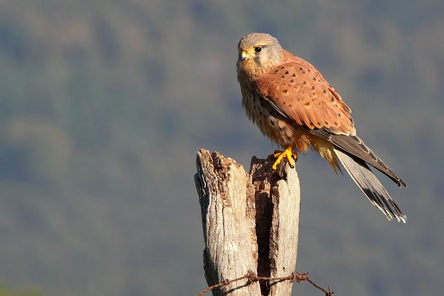 Turmfalke 1 ( Falco tinnunculus )