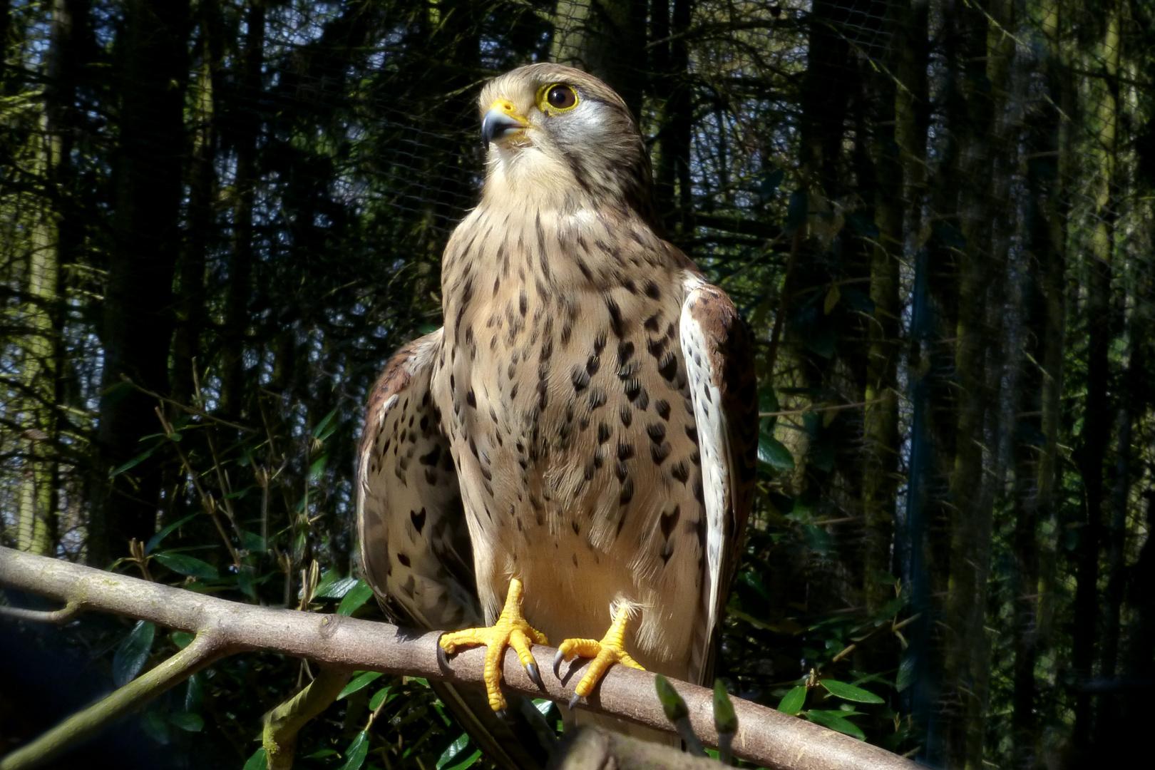 Turmfalke (2) im Zoo Neuwied
