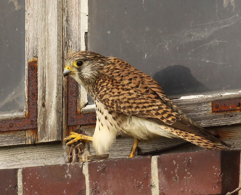 Turmfalke (Falco tinnunculus) - weiblich | atzend - Sperling 1