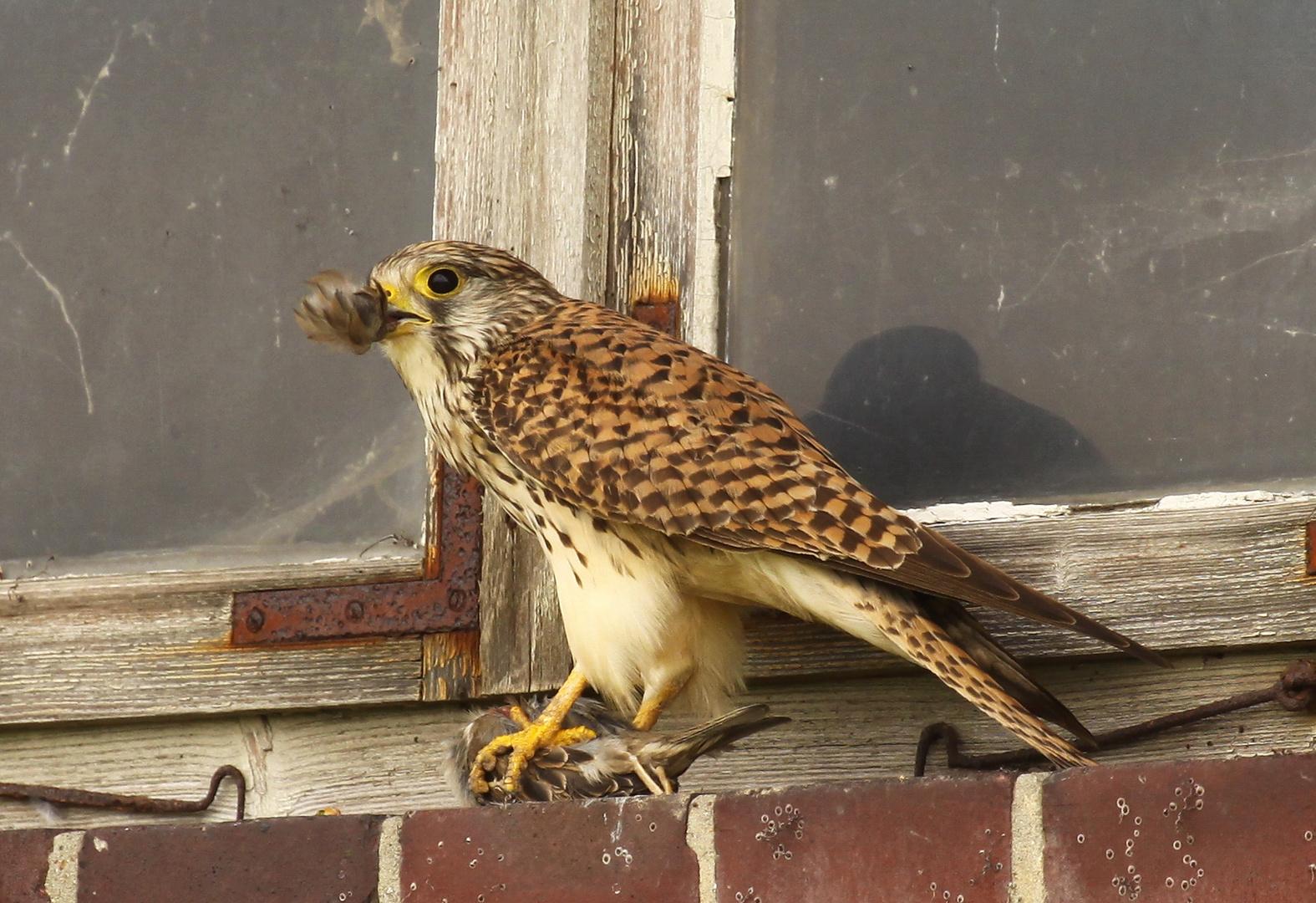 Turmfalke (Falco tinnunculus) - weiblich | atzend - Sperling 2