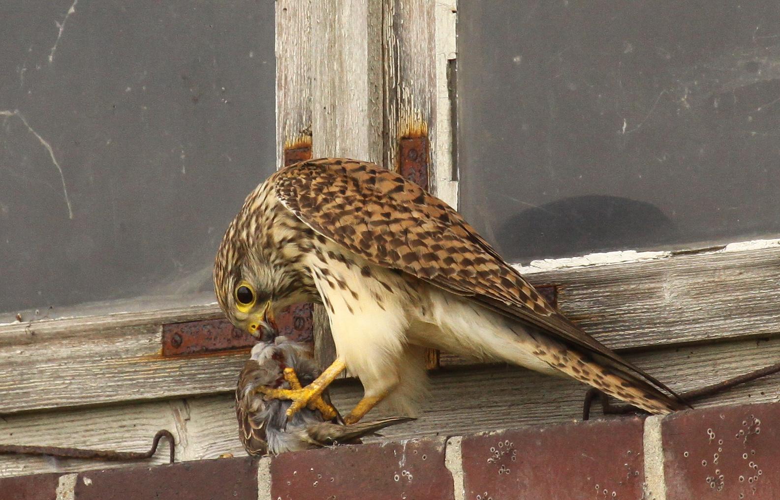 Turmfalke (Falco tinnunculus) - weiblich | atzend - Sperling 4