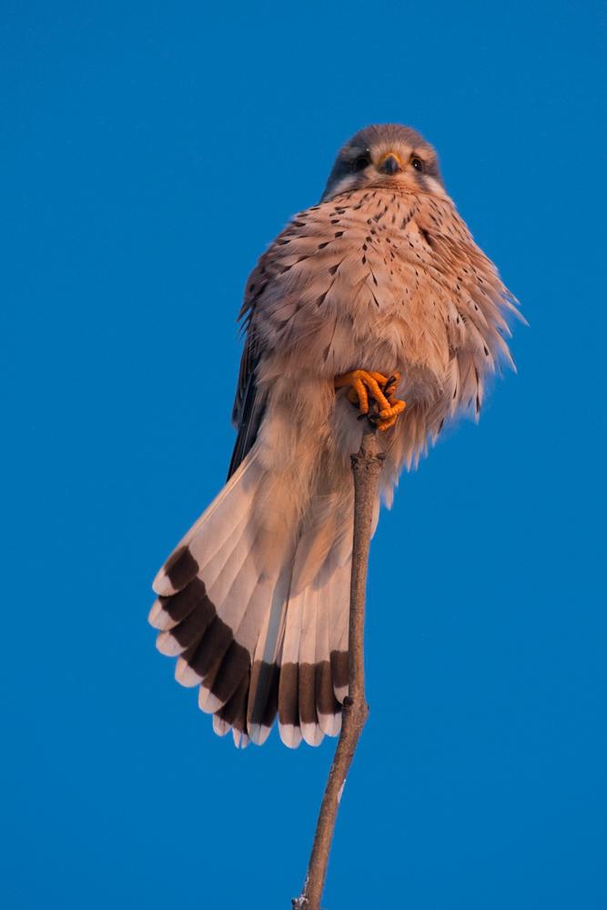 Turmfalke, Männchen (Falco tinnunculus)