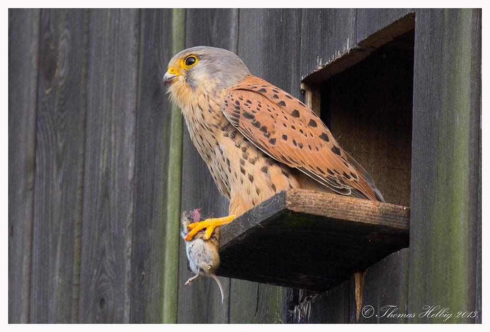 Turmfalke Männchen (Falco tinnunculus) hat die Beute fest im Griff