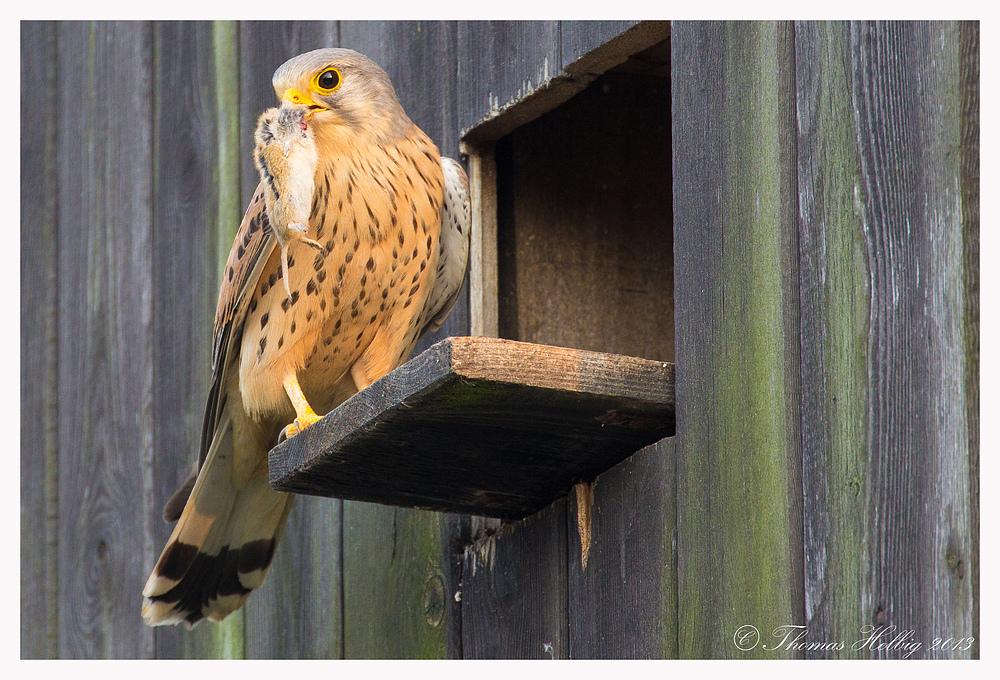 Turmfalke Männchen (Falco tinnunculus) mit Beute