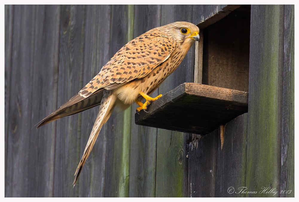 Turmfalke Weibchen (Falco tinnunculus)