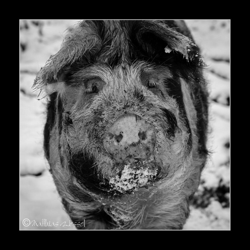 Turopolje-Schweine, Ivenacker Eichen