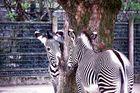 Turtelnde Zebras