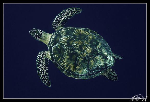 ~ Turtle ~