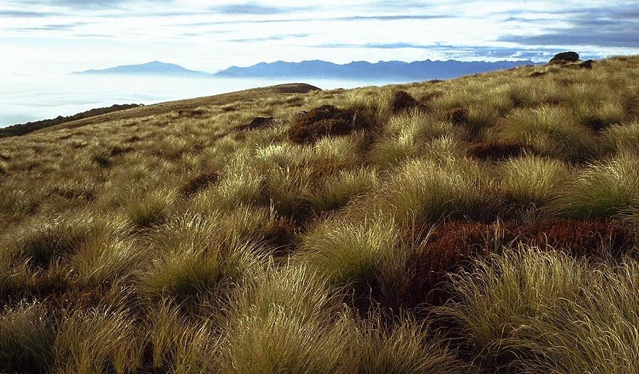 Tussock Gras auf dem Kepler Track bei Te Anau / Tussock grass on Kepler Track Te Anau