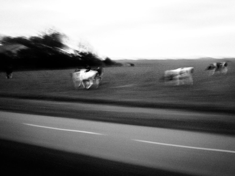 Twilight-Cows