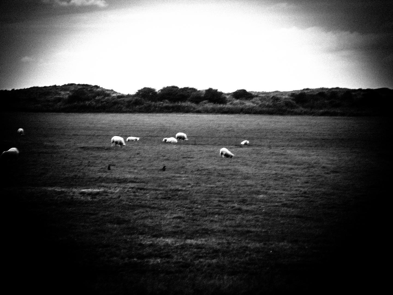Twilight-sheeps