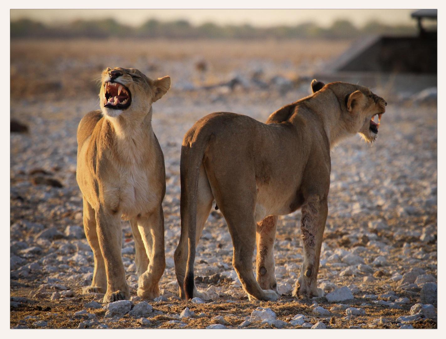 twin Lion