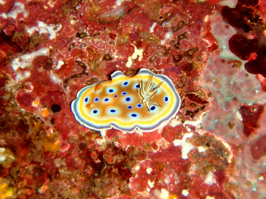 Twin Magnificent Nudibranch