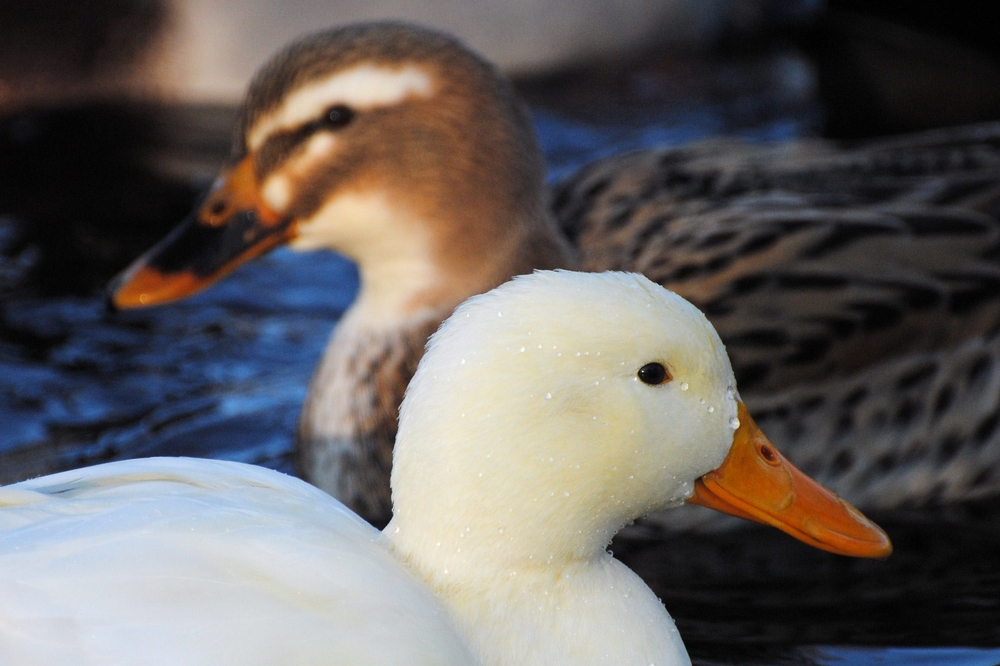 two beaks.