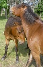 Two horses in Gotland