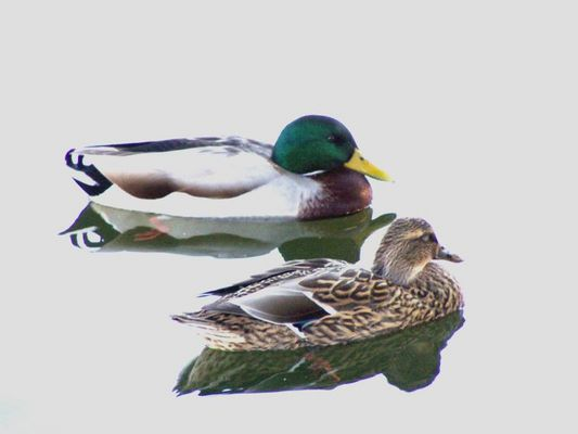 two mallard ducks